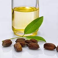 Die Jojoba Pflanze in Naturform und als Öl in eiem Gefäß